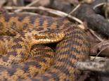 Female adder - Tom Marshall