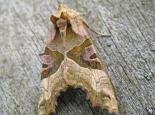 Angle shades moth - Rachel Scopes