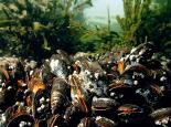 BIVALVES Mussel_Bed - Paul_Naylor