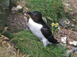 Razorbill at cliff nest - Gillian Day