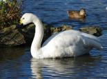 Bewick's swan - Gillian Day