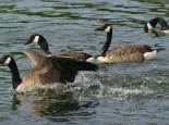 Canada geese are often seen together in large groups - Gillian Day