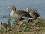 The greylag is the ancestor of domesticated geese - Gillian Day