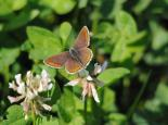 Brown argus butterfly on clover - Amy Lewis
