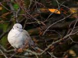 Collared dove roosting - Ian Rose