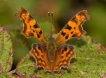 Comma butterfly - David Londshaw