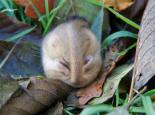 Dormouse sleeping - Tom Chalmers
