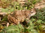 Common frog - Philip Precey