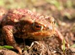 Common toad - Philip Precey