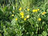 Creeping buttercup - NeilWyatt