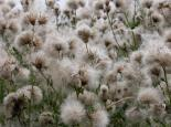 Creeping thistle seedheads - Philip Precey