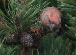 Male crossbill feeding on pine seeds - Stafan Johansson