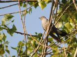 Cuckoos are often mistaken for birds of prey - Amy Lewis