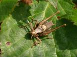 Dark bush cricket - David Longshaw