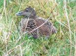 A female eider duck on her nest - Bob Coyle