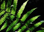 FERNS AND HORSETAILS Fern frond - Zsuzsanna Bird