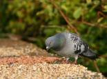 Feral pigeons will feed at bird tables - Ian Rose