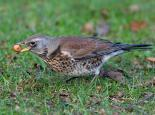 Fieldfare feeding on berries - Stefan Johansson