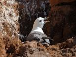 The cliff nest of a fulmar - Amy Lewis