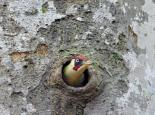 Green woodpecker in a nest hole - Steve Waterhouse