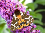 Garden tiger moth on buddleia - Denis Jackson
