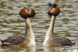 A pair of grebes displaying - Steve Waterhouse