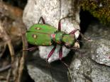 Green tiger beetle - Philip Precey