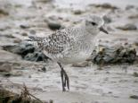 Grey plover - Dave Appleton