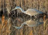 Herons, egrets and spoonbill - David Martin