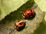 Adult harlequin ladybird and larvae - Philip Precey