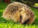 Hedgehog - Gillian Day