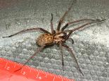 House spider - Lynette Schimming