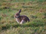 Irish hare - Ulster Wildlife Trust
