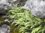 Maidenhair spleenwort - Tom Marshall