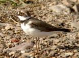 Little ringed plover - Dave Appleton
