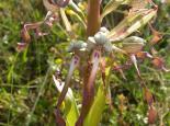 Lizard orchid - Bruce Shortland