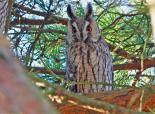 Long-eared owls have characteristic 'ear-tufts' - Stefan Johansson