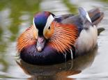 The brightly coloured male mandarin duck - Amy Lewis