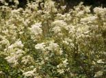 Meadowsweet - Paul Lane
