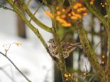 Mistle thrushes defend berry-bearing trees in winter - Amy Lewis