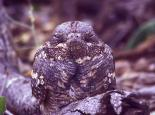 Nightjars are perfectly camouflaged - Neil Aldridge