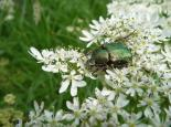Noble chafer - Harry Green