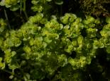 Opposite-leaved Golden Saxifrage - Philip Precey
