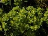 Opposite-leaved Golden Saxifrage - Philip Precey