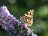 Painted lady butterfly on buddleia - Philip Precey