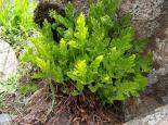 Parsley fern - bonushenricus