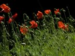 Poppies - Zsuzsanna Bird