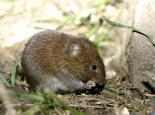 Bank vole - Wildstock
