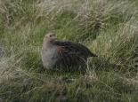 Grey partridges lack the bright facial markings of red-legged  - Wildstock