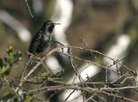 A starling in breeding plumage - Wildstock